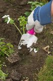 Planting with trowell. Hand holding a spade, diggin a hole to plant an impatient.  Hand is gloved Stock Images