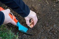 Planting tulip bulbs Royalty Free Stock Photo
