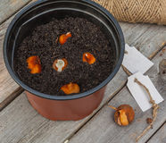 Planting tulip bulbs in a pot Stock Photo