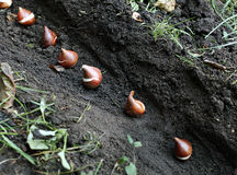 Planting of tulip bulbs in the soil Royalty Free Stock Image