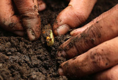 Planting turmeric Stock Photo