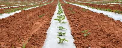 Organic / Green Farming. New plants under a plastic sheet to preserve humidity Royalty Free Stock Images