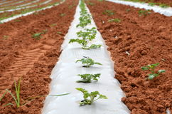 Organic / Green Farming. New plants under a plastic sheet to preserve humidity Stock Photo