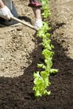 Planting vegetable garden Royalty Free Stock Photography