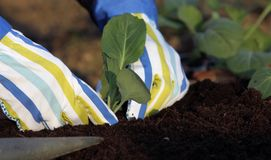 Planting vegetable plants Stock Photos