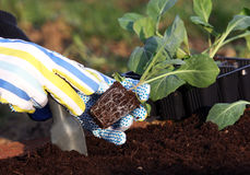 Planting vegetable plants Stock Photography