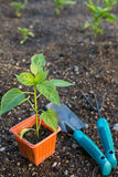 Planting vegetables Royalty Free Stock Photo