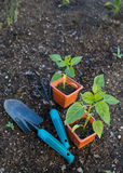 Planting vegetables Stock Image