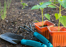 Planting vegetables Stock Images