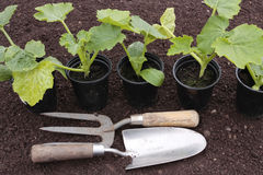 Planting of vegetables on prepared soil Royalty Free Stock Image