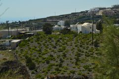 Planting Of Vineyards On The Volcanic Earth In Pyrgos. Fruit Plants, Nature, Landscapes, Travel. July 7, 2018. Pyrgos Island Santorini Greece royalty free stock photo