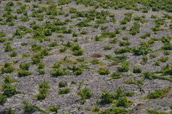 Planting Of Vineyards On The Volcanic Earth In Pyrgos. Fruit Plants, Nature, Landscapes, Travel. July 7, 2018. Pyrgos Island Santorini Greece stock images