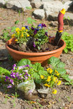 Planting viola. Flowers in pot Stock Images