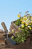 Planting violas Stock Image