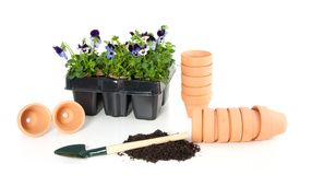 Planting violet blue pansy Royalty Free Stock Photos