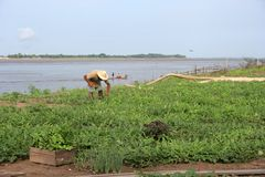 Planting of watermelon. Grower in watermelon planting of the Amazon River, Brazil Royalty Free Stock Images