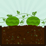 Planting watermelon and compost Stock Images
