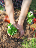 Planting wax begonia. Woman planting wax begonia in the garden Royalty Free Stock Photos