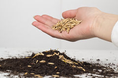 Planting of wheat Stock Photography