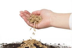 Planting of wheat Stock Images