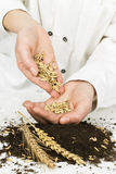 Planting of wheat Stock Image