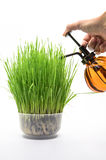 Planting wheat Royalty Free Stock Images