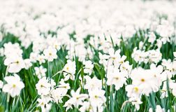 Planting white daffodils, blue filter Stock Photos