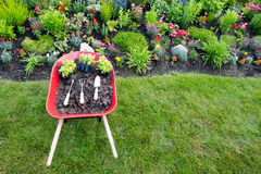 Planting yellow celosia in an ornamental flowerbed Stock Image