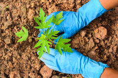 Planting a young papaya tree Royalty Free Stock Images