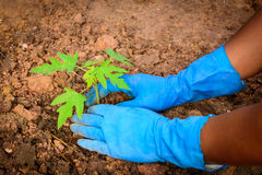 Planting a young papaya tree. In the garden royalty free stock photography