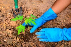 Planting a young papaya tree. In the garden royalty free stock photo