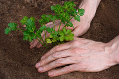 Planting young parsley Royalty Free Stock Photos