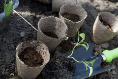 Planting young peppers seedlings in peat pots on soil background Stock Images