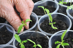 Planting young tomato seedlings Royalty Free Stock Image