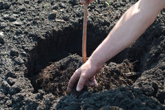Planting a young tree Royalty Free Stock Photo