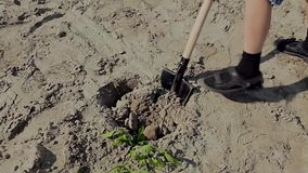 Planting young tree. By kid hand on back soil as care and save wold concept stock video footage