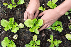 Planting young vegetable Stock Image