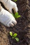 Plantings on salad. Planting of lettuce in soil Stock Photo