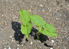 Plantlet of bean Royalty Free Stock Photography