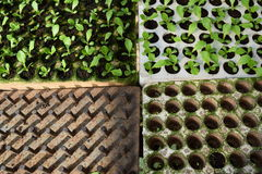 Plantlet, tray and tool for planting the borecole in greenhouse in Vietnam Stock Photo