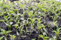 Plantlets macros de la pimienta al aire libre Foco selectivo imagenes de archivo