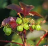 Plantones de frutal salvajes Imagenes de archivo