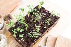 Plantor av örter och grönsaker i torvkrukor Fotografering för Bildbyråer