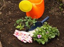 Plantor av blommor Astra och altfiolen på bakgrunden av jord och gödningsmedel Royaltyfri Bild
