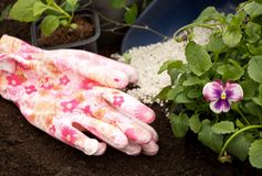 Plantor av blommor Astra och altfiolen på bakgrunden av jord och gödningsmedel Royaltyfri Foto