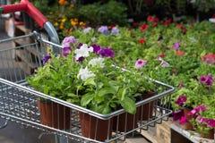 Plantor av blommor i en shoppingvagn Arkivbilder
