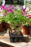 Plantor av blommor i plast- behållare Arkivbilder
