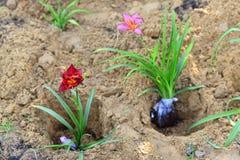 Plantor av blommor som är förberedda för att plantera Royaltyfria Bilder