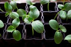 plantor av gurkor, små groddar i svarta krukor, gröna unga växter arkivfoto