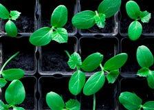 plantor av gurkor, små groddar i svarta krukor, gröna unga växter arkivbild